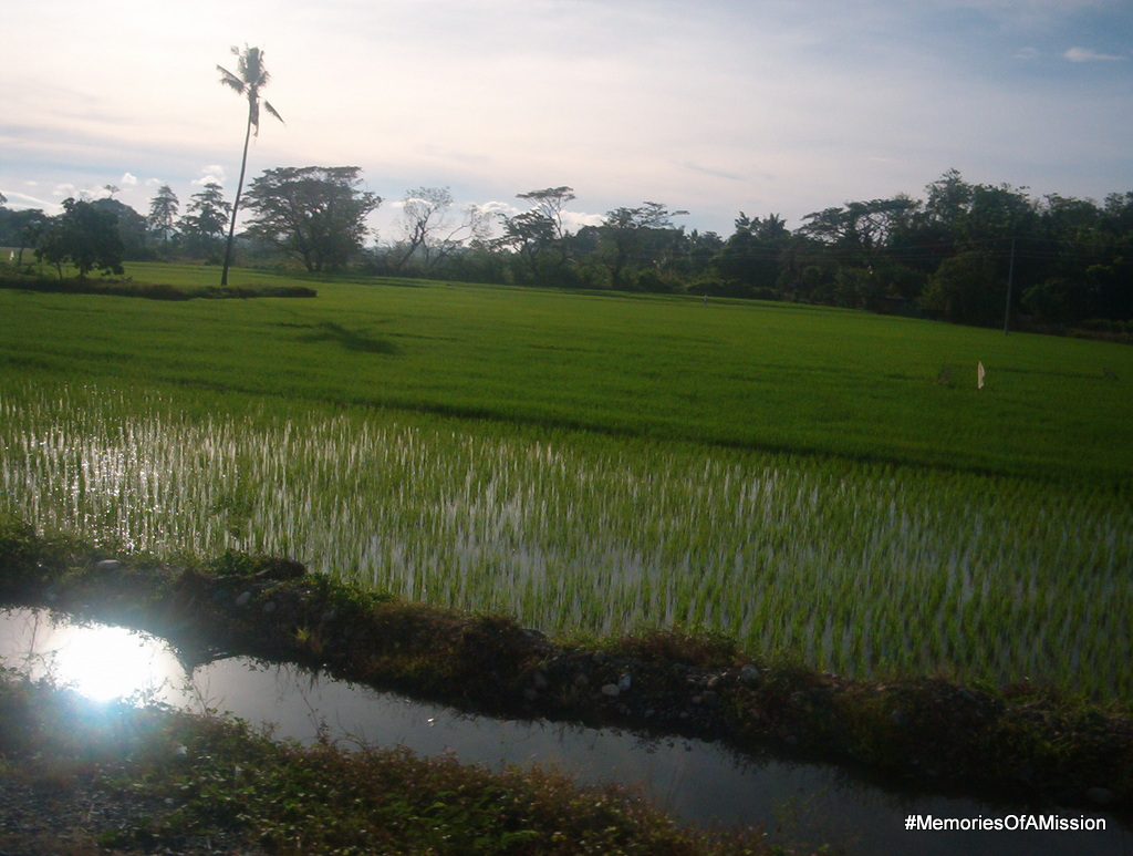 Rice fields about 2 weeks into the growing cycle