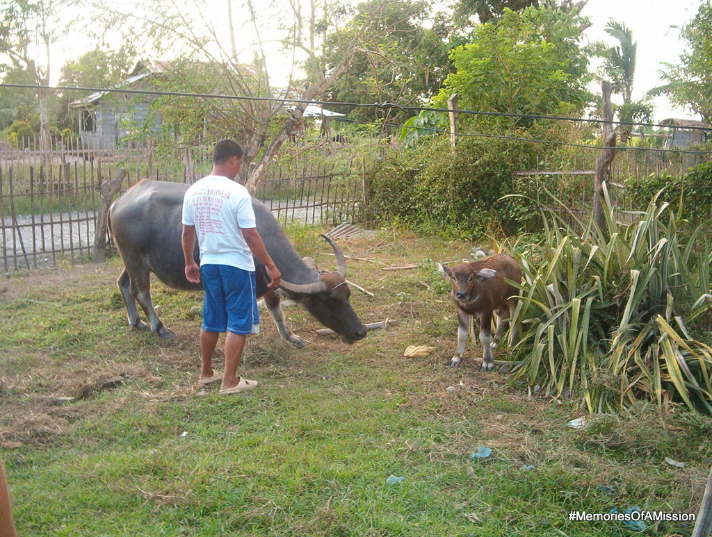 Pres Isla's Carabao and it's calf